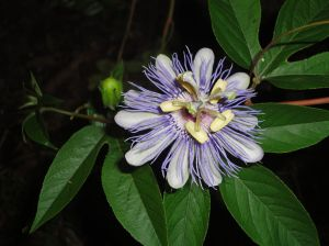 1024px-Passiflora_incarnata_flower_and_bud